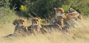 An Incredible Cheetah Sighting