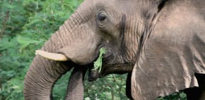 Elephant Eating a Thorn Bush