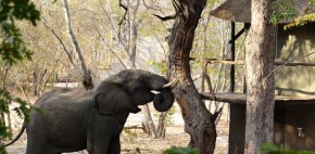 Elephant Shaking the Camel Thorn tree