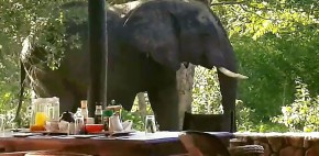 a surprise visit from an elephant friend